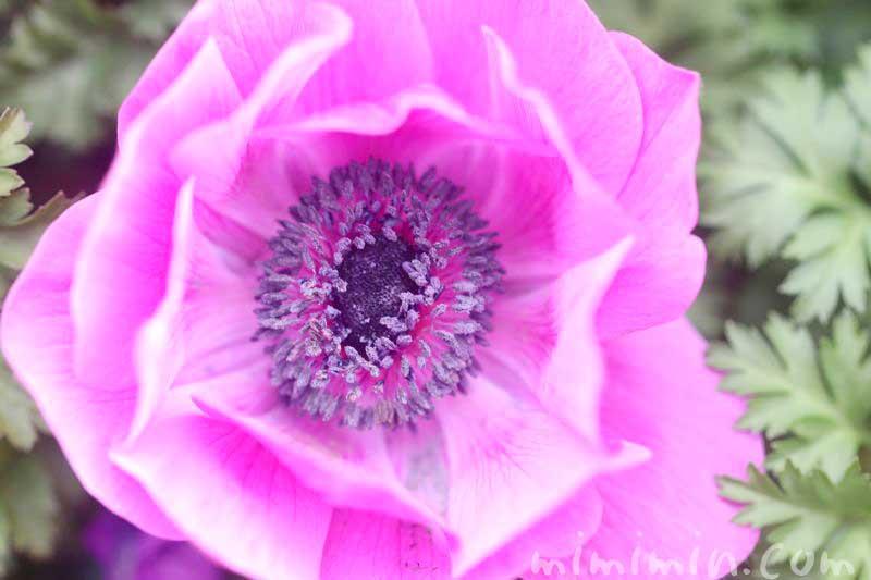アネモネの写真と花言葉・誕生花の画像