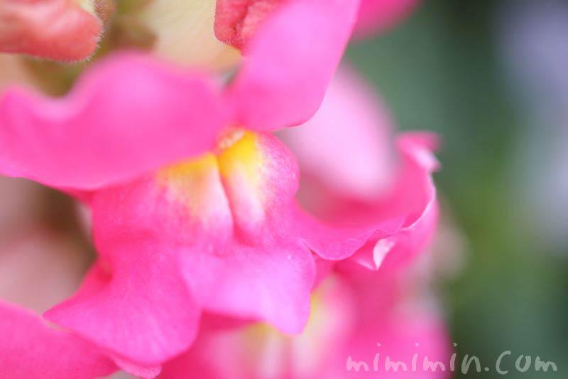キンギョソウ ピンクの写真