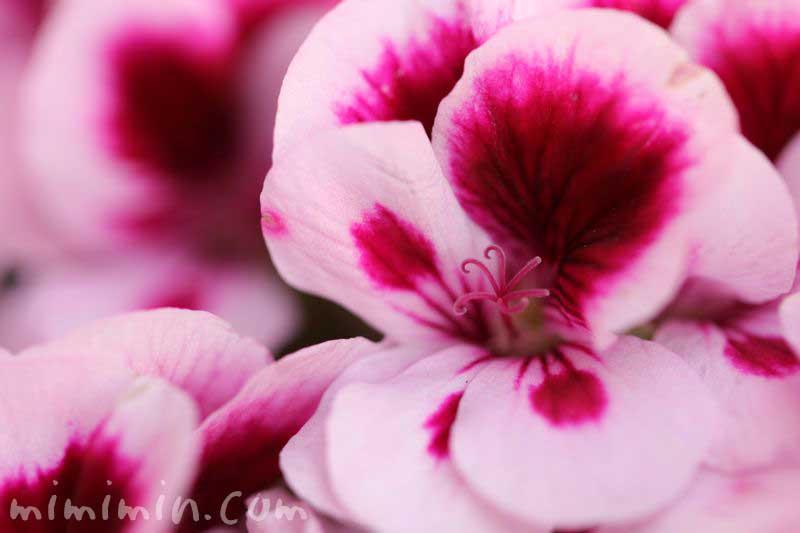 ペラルゴニウムの花・ピンクの写真