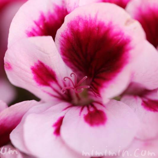 ペラルゴニウム・ピンクの花