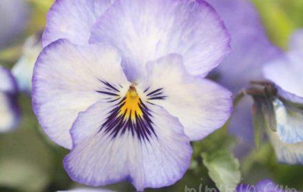 パンジー(紫×白)の花の写真と花言葉