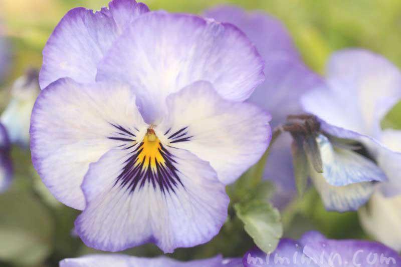 パンジー(紫×白)の花の写真・花言葉の画像