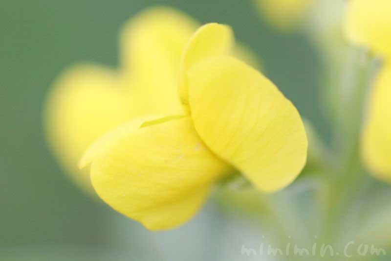 エニシダの写真と花言葉