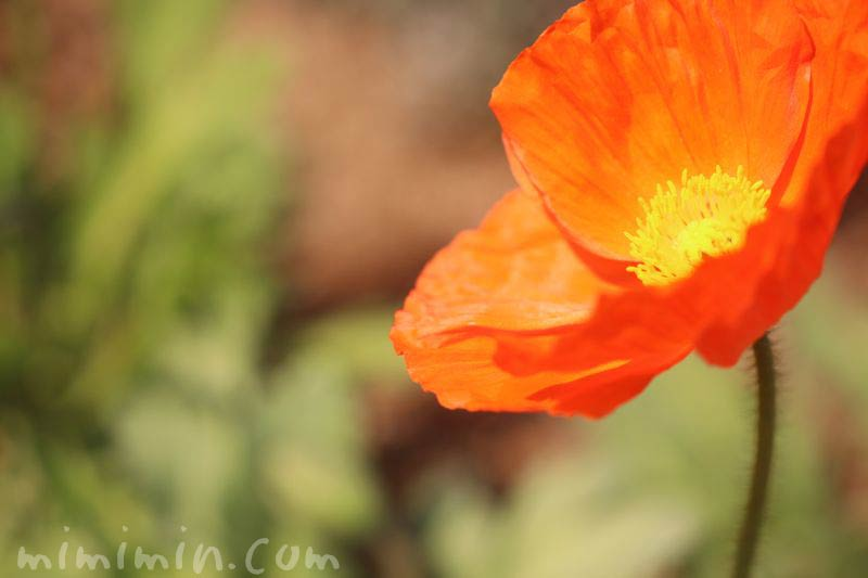ポピーの花・オレンジ色の写真