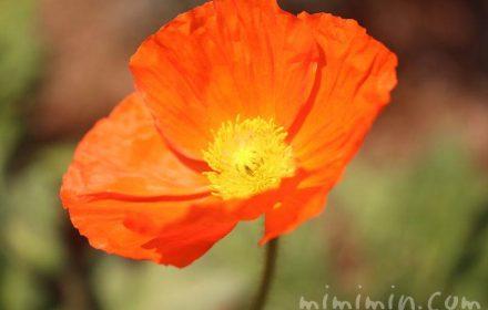 ポピー・オレンジ色の画像
