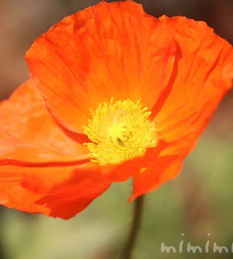 ポピー(ヒナゲシ)の花言葉・名前の由来・誕生花