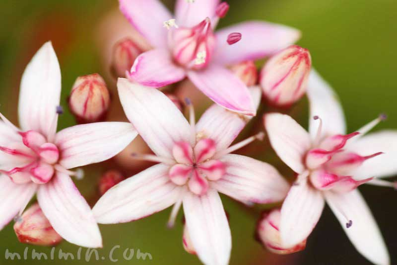 カネノナルキの花言葉・カネノナルキの写真の画像