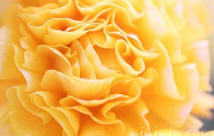 ラナンキュラス(黄色)の花の写真と花言葉