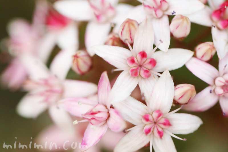 カネノナルキの花言葉の画像
