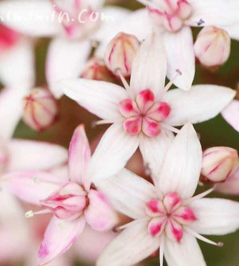 カネノナルキ(金のなる木)の花言葉|金運アップの観葉植物