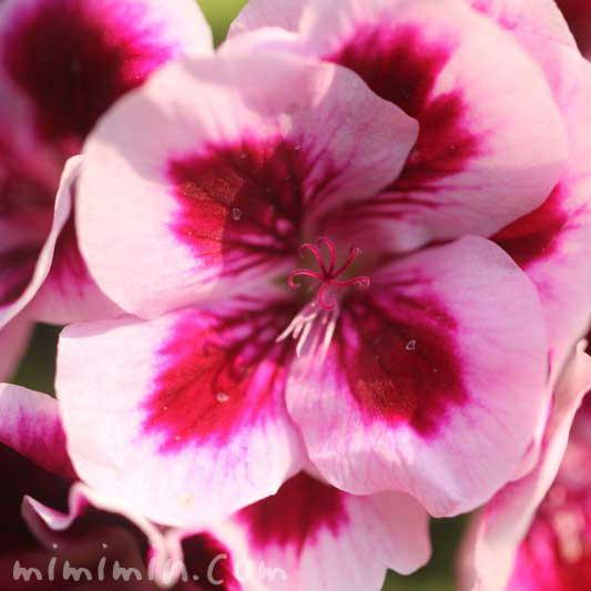 ピンク色のペラルゴニウムの画像