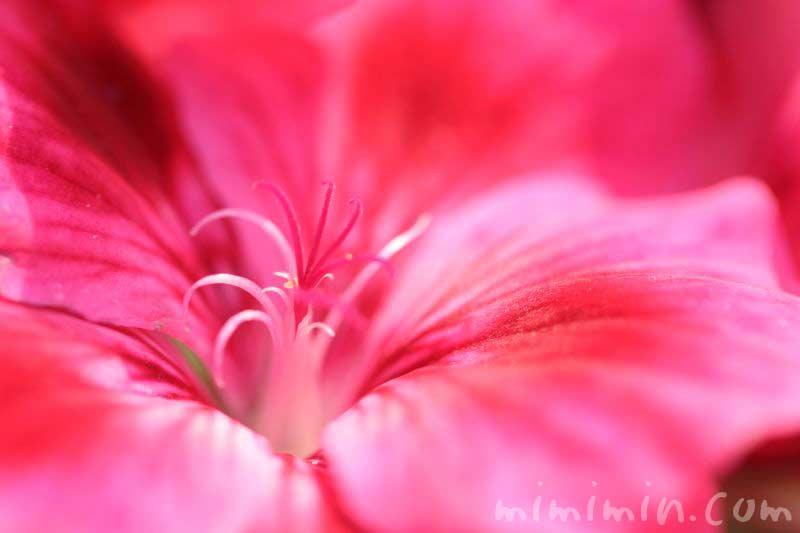 ペラルゴニウムの花・赤の画像