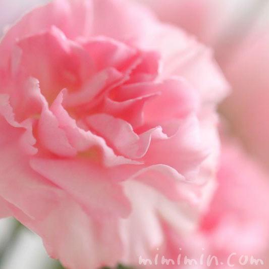 カーネーションの花言葉の画像