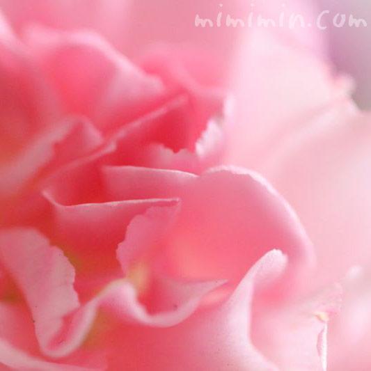 ピンクのカーネーションの花言葉の画像