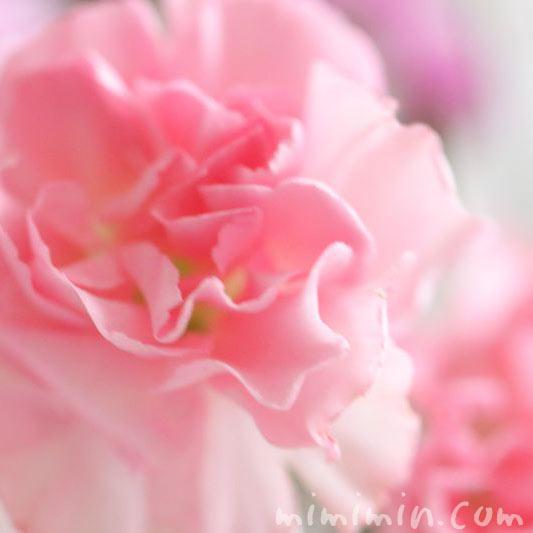 カーネーションの誕生花の画像