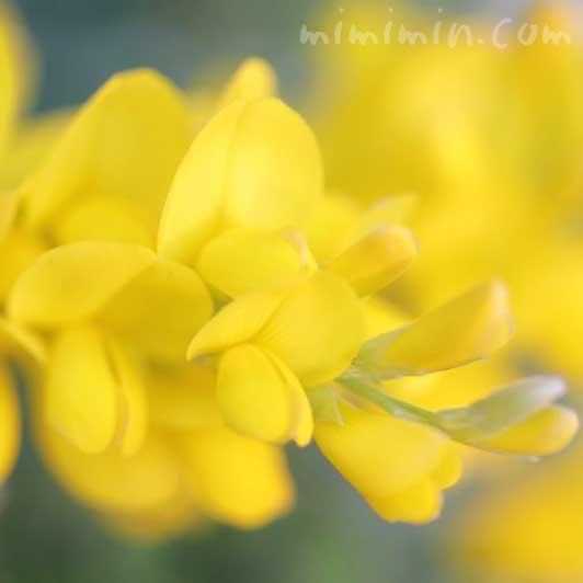 エニシダの花の写真と花言葉の画像