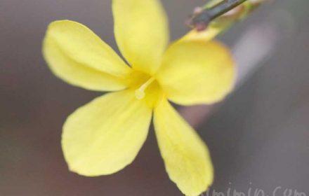 黄梅の花言葉・花の写真の画像