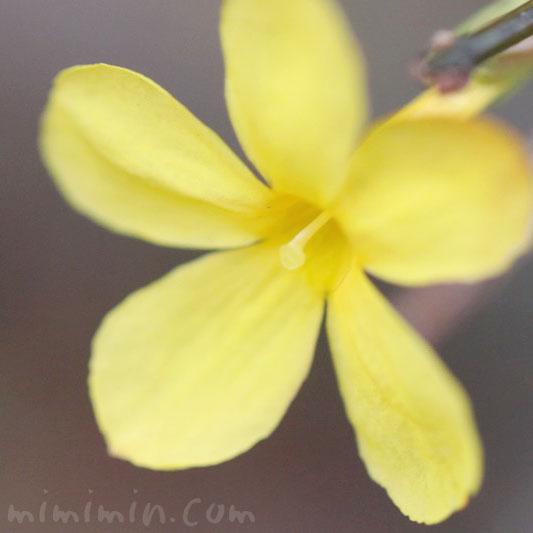 黄梅の花言葉・黄梅の花の写真の画像