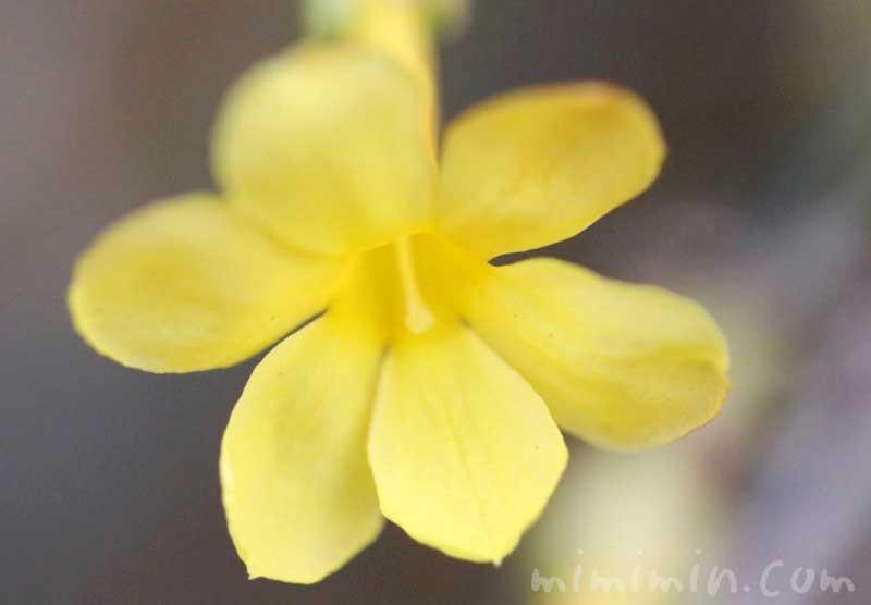 オウバイの花言葉・オウバイの花の写真の画像