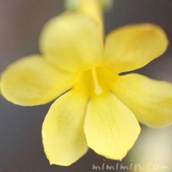 オウバイの花言葉・オウバイの写真の画像
