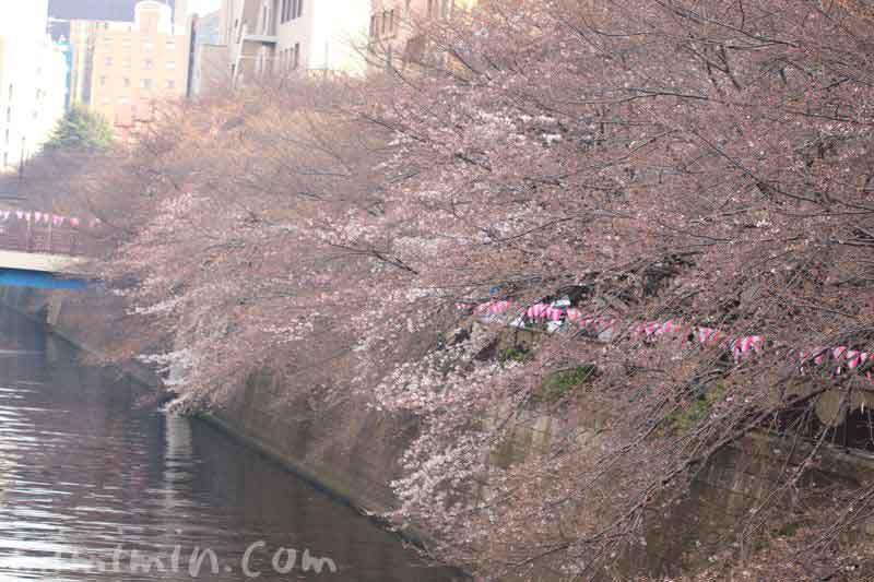 目黒川のお花見お ソメイヨシノはまだつぼみの写真