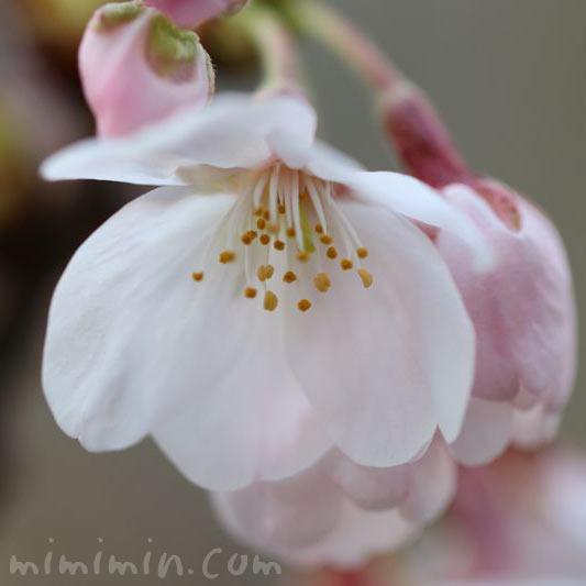 目黒川の桜・2017の画像