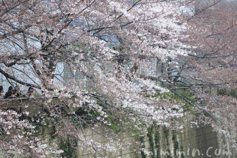 目黒川の桜・2017年3月の写真
