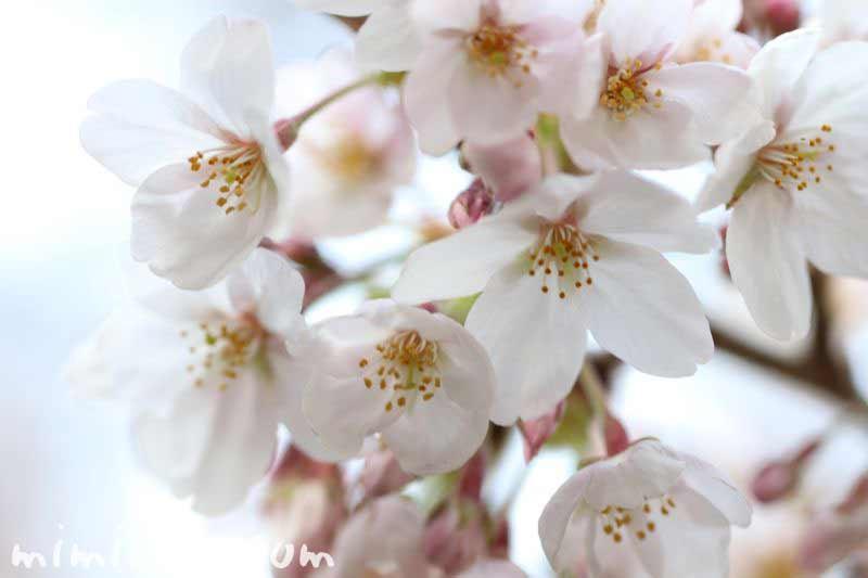 目黒川の桜・2017年3月