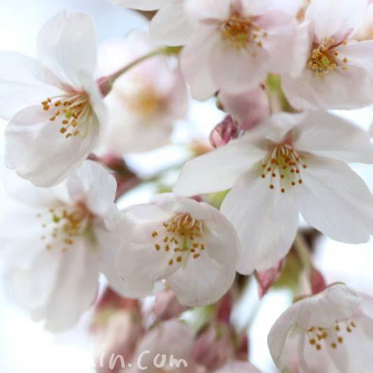 目黒川の桜・2017年の写真