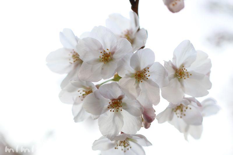 目黒川の桜・2017年のお花見の画像