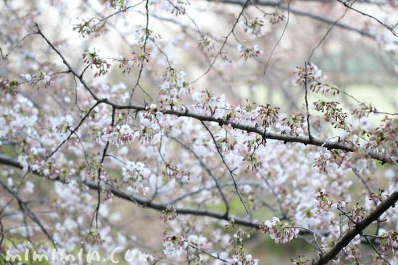 目黒川の桜・2017年 お花見
