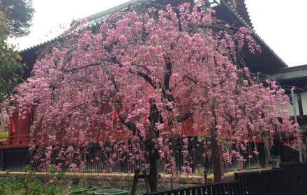 上野公園のしだれ桜の画像