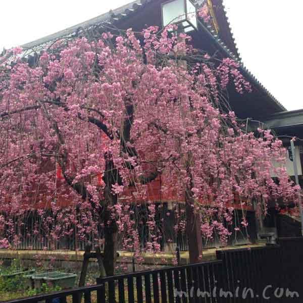 上野公園のシダレ桜の写真
