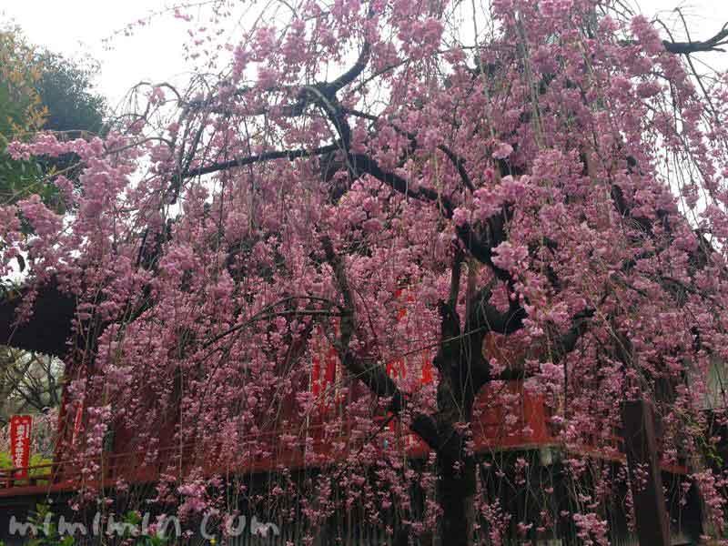 上野公園の枝垂れ桜の画像