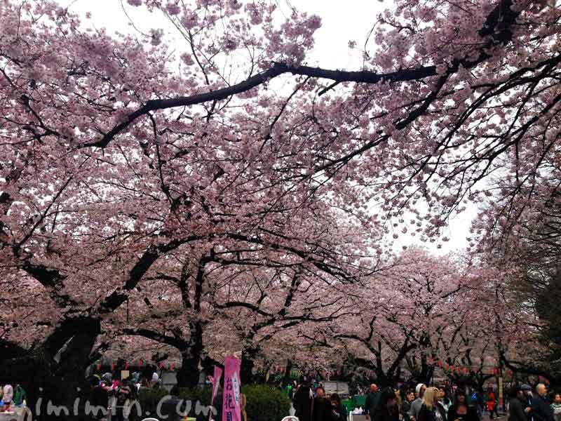上野公園の桜のトンネルの画像