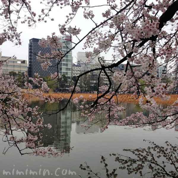 不忍池の桜の花の画像