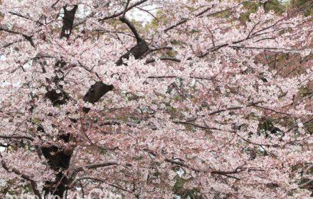 東京ミッドタウンガーデンの桜の写真