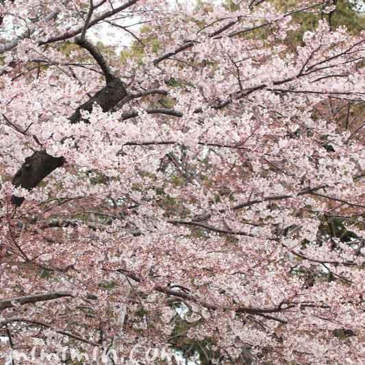 東京ミッドタウンの桜の写真
