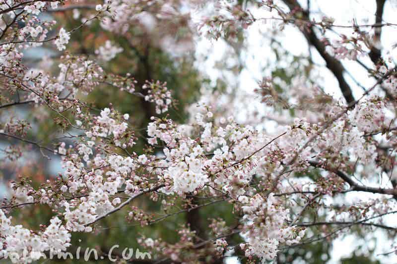 ソメイヨシノ(東京ミッドタウン桜通り)の写真