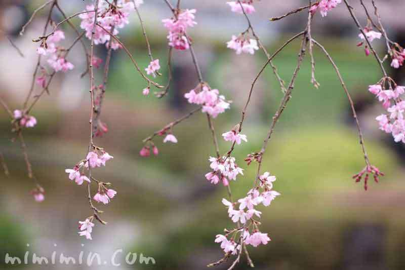 しだれ桜(六本木ヒルズの毛利庭園)の写真