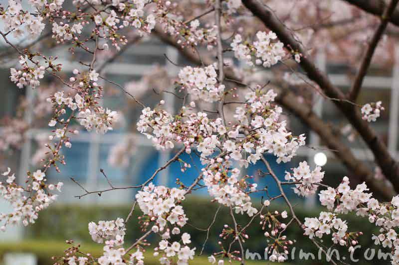 ソメイヨシノ(毛利庭園)の写真