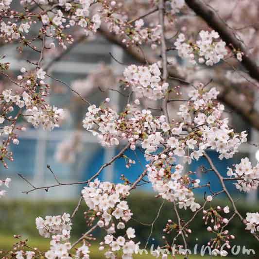 桜(六本木)の写真