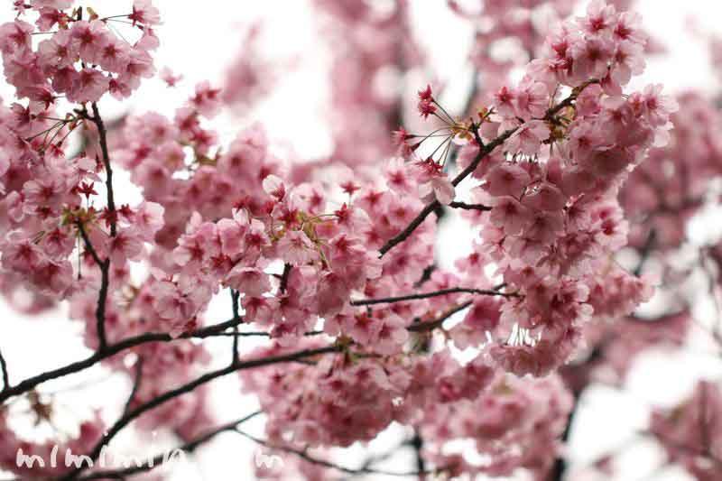 陽光桜(毛利庭園)の画像