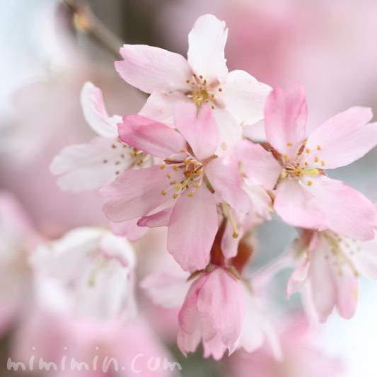 枝垂れ桜(毛利庭園)の画像