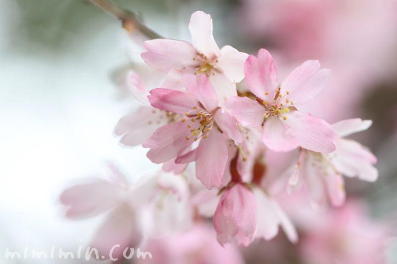 シダレ桜(毛利庭園)の画像
