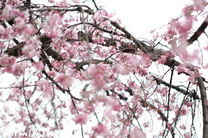 六本木ヒルズ・毛利庭園のシダレ桜の写真