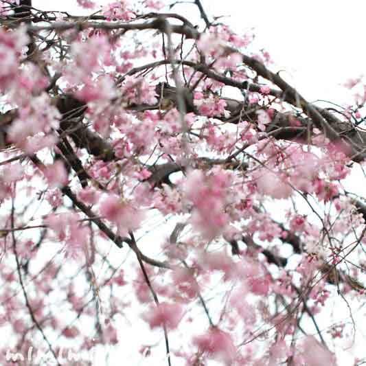 六本木の桜のお花見の写真