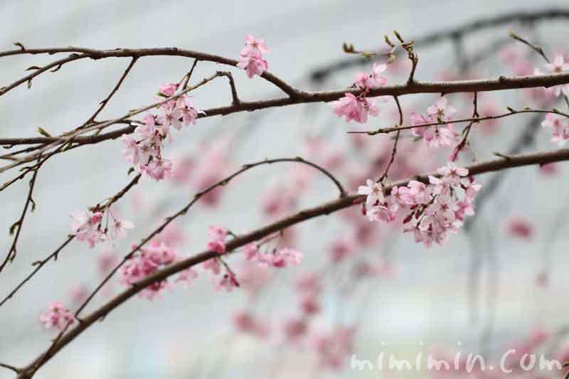 六本木ヒルズ・毛利庭園の枝垂れ桜の画像