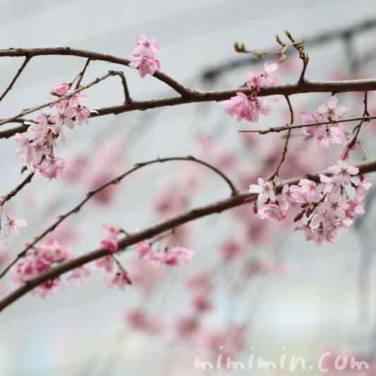 六本木の桜の画像