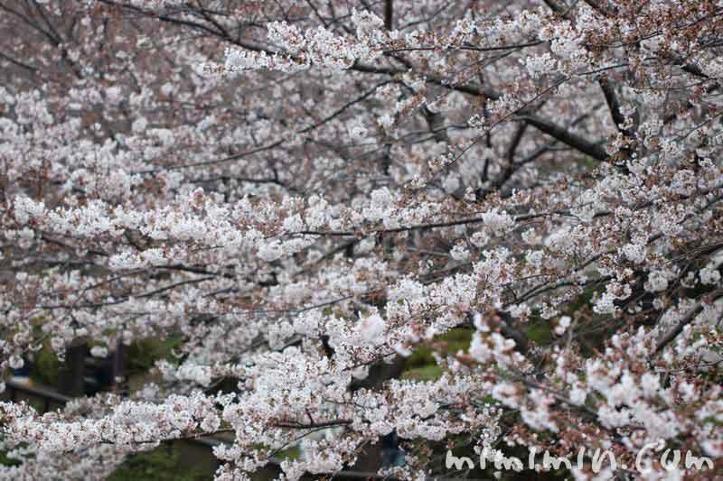 桜 8分咲きの画像
